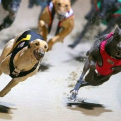 Queensland (Australia) – 25% dei greyhound ex racer soppressi perché non facili da adottare!