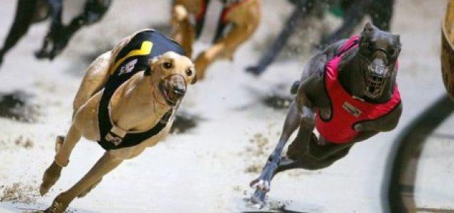 Queensland (Australia) – 25% dei greyhound ex racer soppressi perché non facili da adottare!