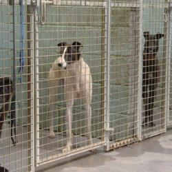 Centinaia di greyhound irlandesi da corsa abbandonati a fine carriera e in cerca di una casa