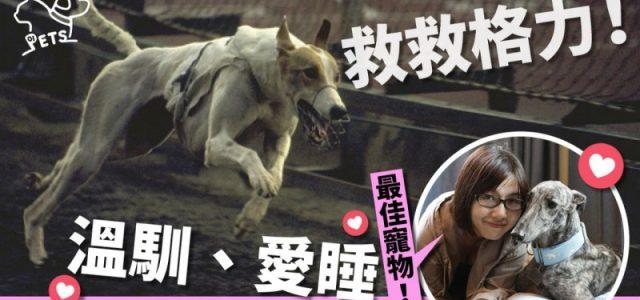 Salviamo i greyhound! Sono gentili, amano dormire. Sono i migliori animali da compagnia al mondo!