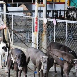 "Inchiesta del South China Morning Post del 2011 sul Canidrome. Da qui partì la campagna ""ClosetheCanidrome"" …"