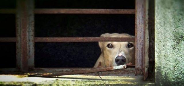 Dentro al racket delle esportazioni illegali di greyhound: 4 capibanda giudicati colpevoli di 464 imputazioni