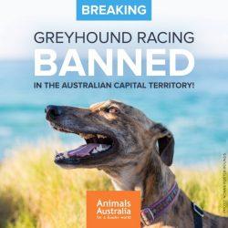 DAL 2018 IL GREYHOUND RACING sarà VIETATO in ACT, cioè nel Territorio della Capitale Australiana). 🔚🔚🔚