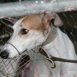 Brooklyn, il greyhound simbolo della campagna Close The Canidrome