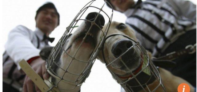 Australia – Serve una legge federale per impedire che i grey vengano esportati in Cina e a Macao.