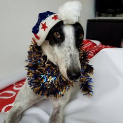 Natale si avvicina: aiuta i levrieri, fai una donazione a Pet levrieri