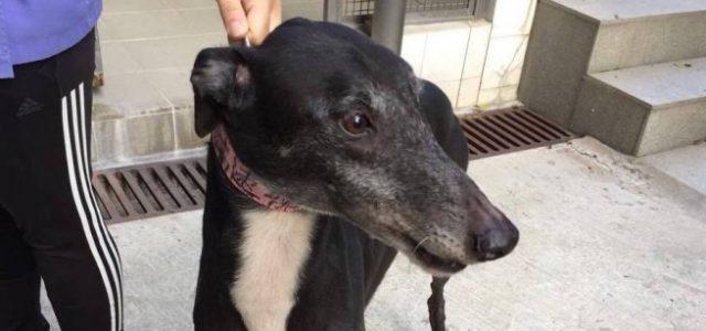 Notizia positiva! High Vapour, altro greyhound ora salvo dall'inferno di Macao