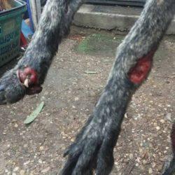 Giovane galga con terribili ferite salvata dalla Protectora Scooby