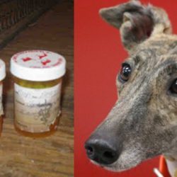 Steroids: Putting Greyhounds At Risk For Profit