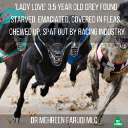 "LADY LOVE – trovata affamata, emaciata, infestata da pulci e logora. ""Gettata fuori"" dal Greyhound Racing!"