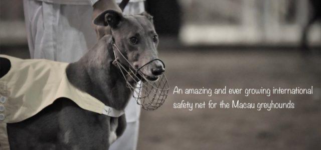 Una straordinaria rete di salvataggio internazionale per i greyhound di Macao.