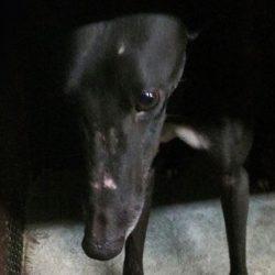 Firma per impedire che le corse coi greyhound siano RE-INTRODOTTE nel Kansas (USA)