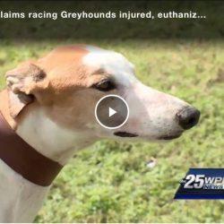 USA – I greyhound da corsa feriti vengono soppressi o sfruttati come donatori di sangue