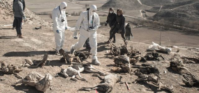 Rimossi i corpi di decine di galgo a Tarancòn