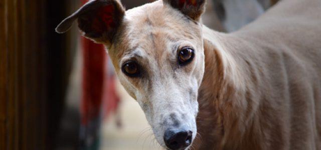 Greyhound Racing: una pessima scommessa per il Kansas