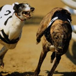 Greyhound in running to be top dog despite failed drug tests
