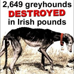 2.649 greyhounds have been destroyed in Irish pounds in the past eight years!