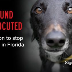 SIGN THE PETITION: STOP INNOCENT GREYHOUNDS FROM BEING ELECROCUTED FOR RACING!