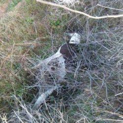 Scooby Zamora denuncia l'aumento vertiginoso di morti di galgo al termine della stagione di caccia