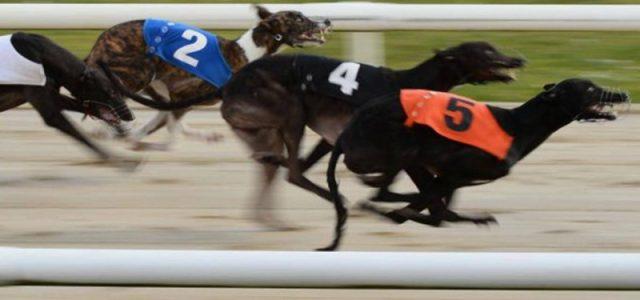 Il mistero dei 1.000 greyhound ritirati dalle corse e poi scomparsi nel nulla