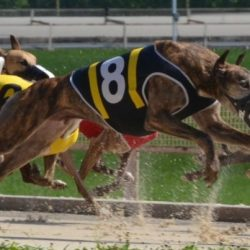 We can't call ourselves a nation of dog lovers until we end greyhound racing
