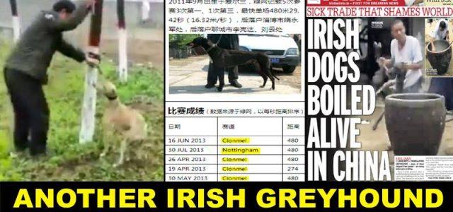 Un altro levriero irlandese è finito in Cina, un paese in cui i cani vengono bolliti vivi e fatti a pezzi!