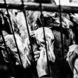 Cicatrices – un documentario fotografico sul destino dei galgo al termine della stagione di caccia