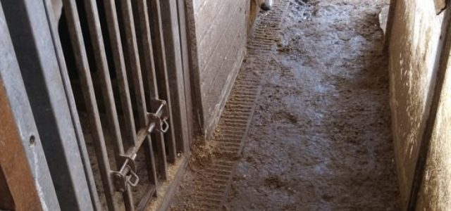 """Levrieri tenuti in condizioni """"INACCETTABILI"""" presso il Cottage Kennels a Winwick Lane!"""