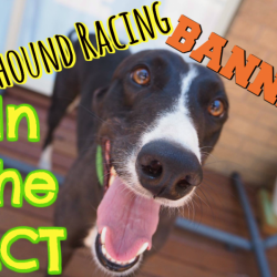 30.04.2018 – GOOD NEWS! Greyhound racing banned in ACT, Australia as of today!
